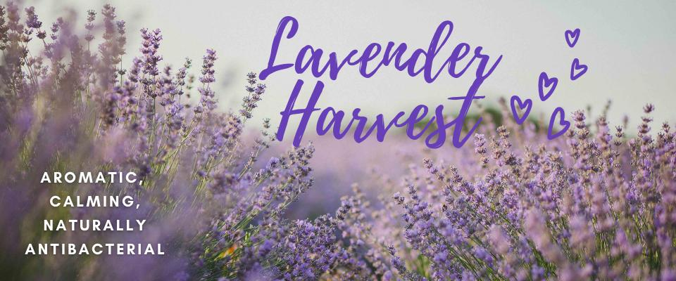 Aromatic, stress relieving, antiseptic, sleep inducing, miracle working Lavender!