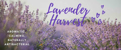 Browse our Aromatic, stress relieving, antiseptic, sleep inducing, miracle working Lavender! collection.