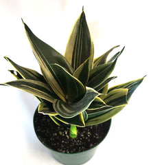 Black Star Sansevieria