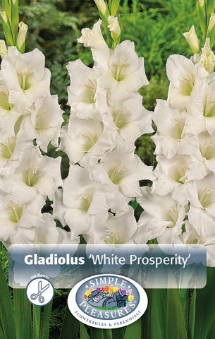 Gladiolus Bulbs - White Prosperity
