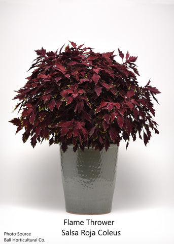 "FlameThrower™ Coleus 4"" Pot"