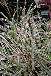 Cherry Sparkle Fountain Grass