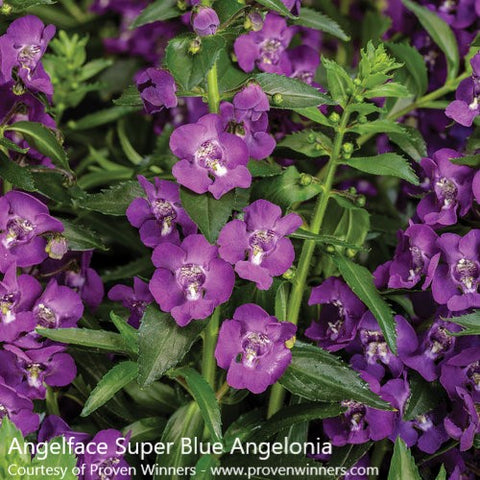"Angelface Super Blue Angelonia-3.5"" Pot"