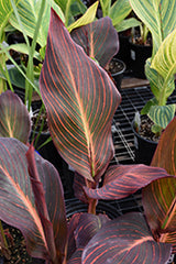 African Sunset Canna Lily