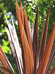 Red Star Palm Grass