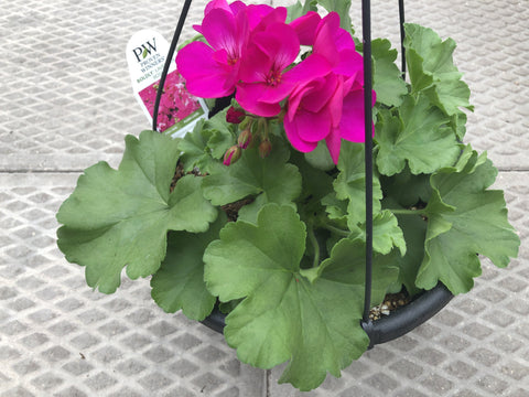 "Hanging Basket 10"" Style D"
