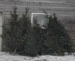 Manitoba Spruce - Fresh Cut Christmas Tree