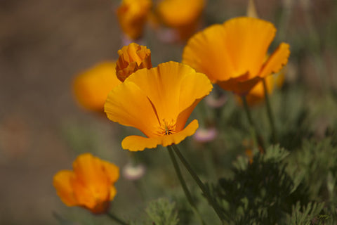 SALE - 149 California Poppies