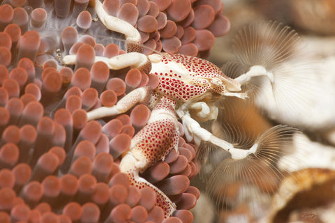 SALE - 153 Porcelain Crab