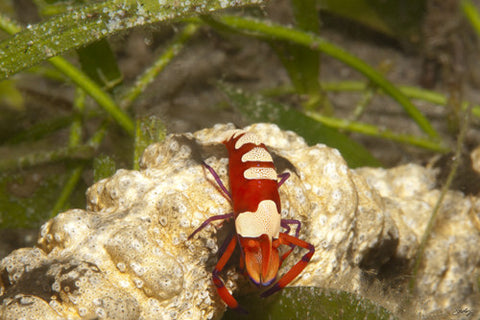 SALE - 155 Emperor Shrimp (24x36 Size)