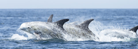 401 Risso's Dolphins (10x30 Size Print)