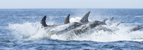 402 Risso's Dolphins (10x30 Size Print)
