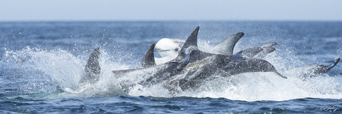 403 Risso's Dolphins (10x30 Size Print)