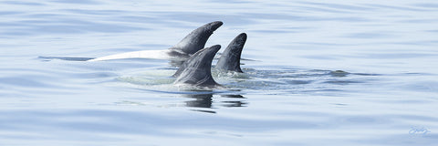 404 Risso's Dolphins (10x30 Size Print)