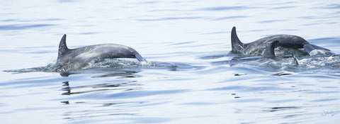405 Risso's Dolphins (10x30 Size Print)