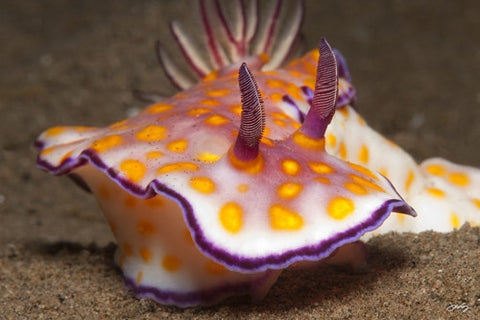 103 Beautiful Risbecia Nudibranch