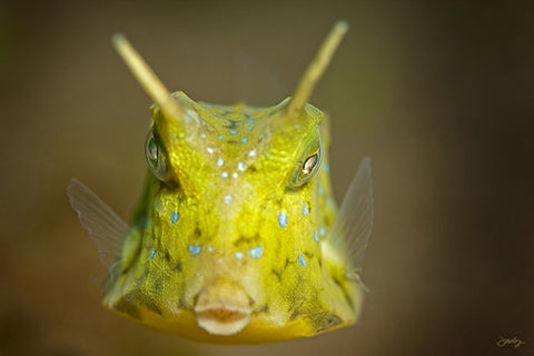 SALE - 106 Longhorn Cowfish
