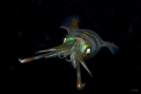 109 Reef Squid