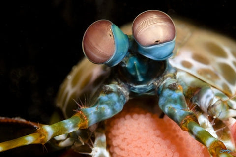 110 Peacock Mantis Shrimp