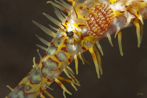 111 Ornate or Harlequin Ghost Pipefish