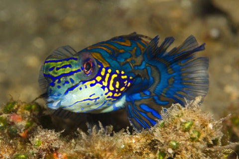 SALE - 112 Mandarinfish or Mandarin Dragonet (12x18 Size)
