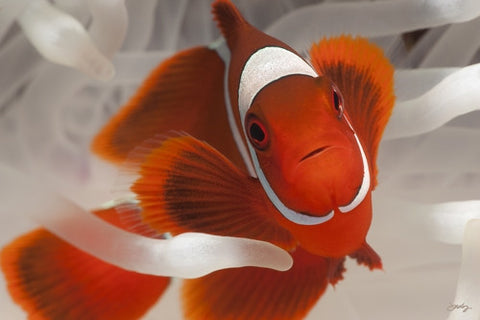 123 Spine-Cheeked or Maroon Clownfish