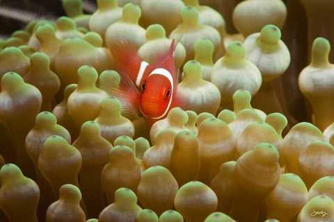 SALE - 130 Juvenile Spine-Cheeked or Maroon Clownfish