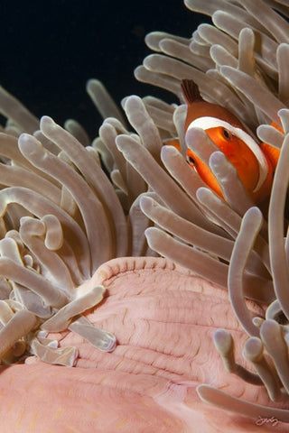 SALE - 133 Western Clown Anemonefish