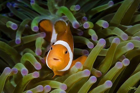 SALE - 100 Western Clown Anemone Fish