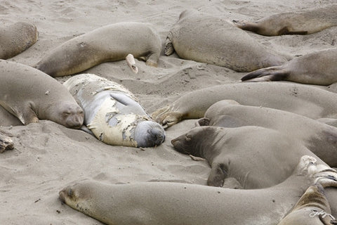 SALE - 137 Elephant Seals