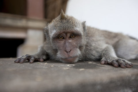 145 Long tailed Macaque - Bali Monkey
