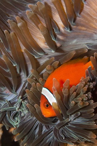 SALE - 141 Tomato Clownfish