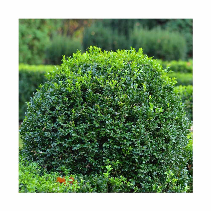 Buis 'Green Gem' - Buxus 'Green Gem'
