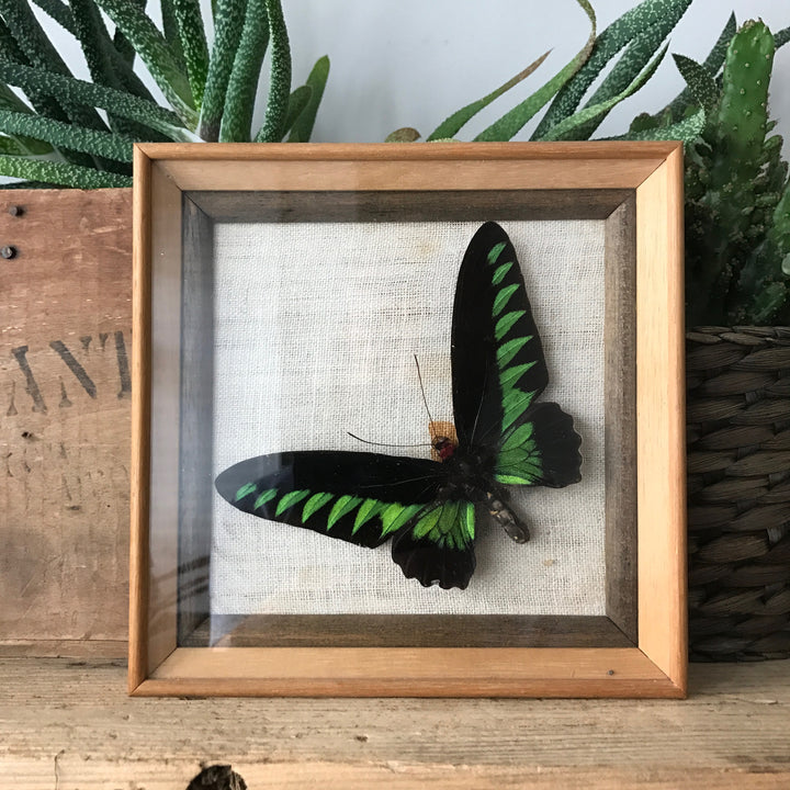 Single Vintage Butterfly Taxidermy #rajahbrookes