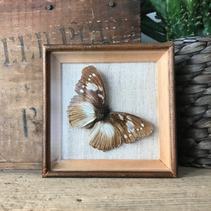 Single Vintage Butterfly Taxidermy