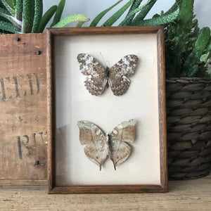 Double Vintage Butterfly Taxidermy #naturals