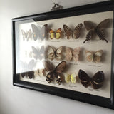 Large Vintage Butterfly Taxidermy Collection