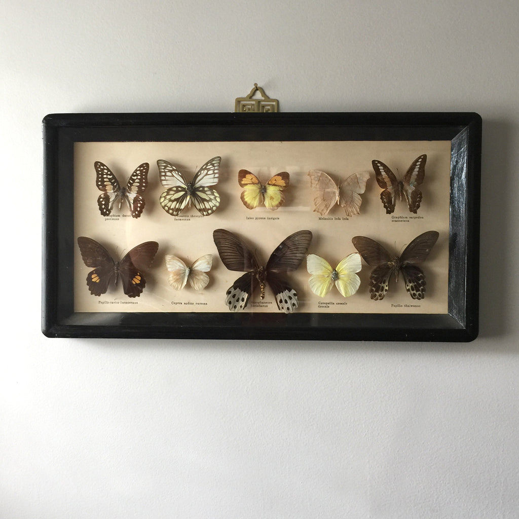 Medium Vintage Butterfly Taxidermy Collection