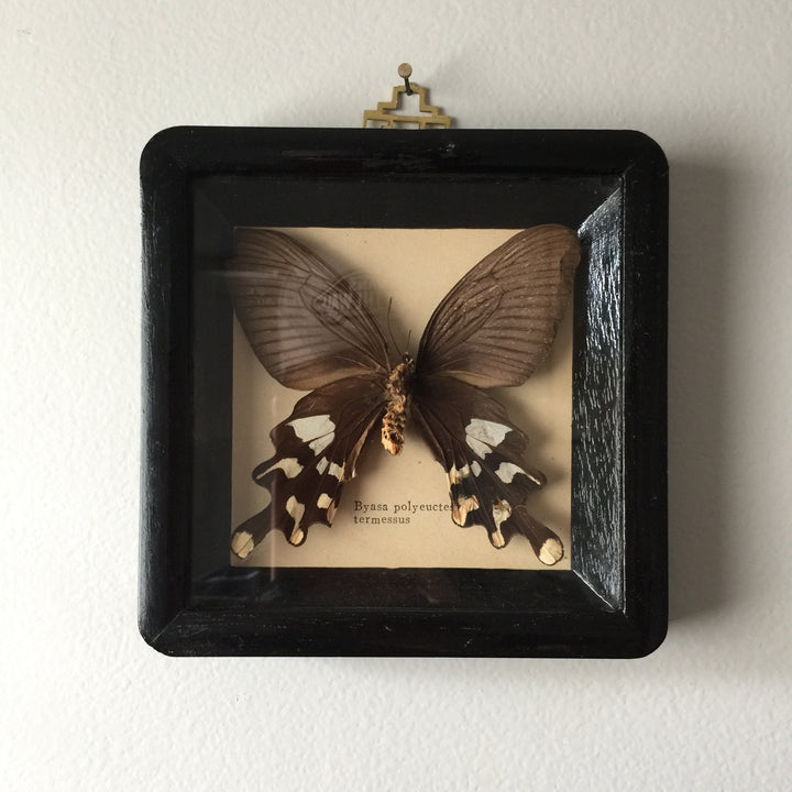 Petite Vintage Butterfly Taxidermy #2