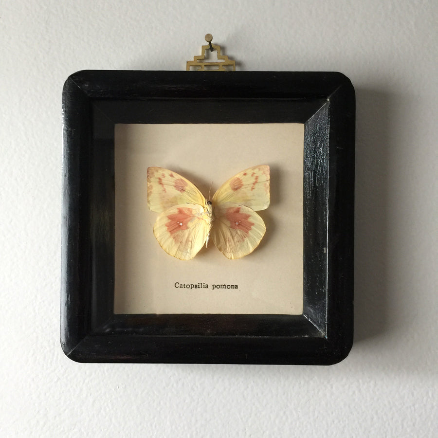 Petite Vintage Butterfly Taxidermy #3