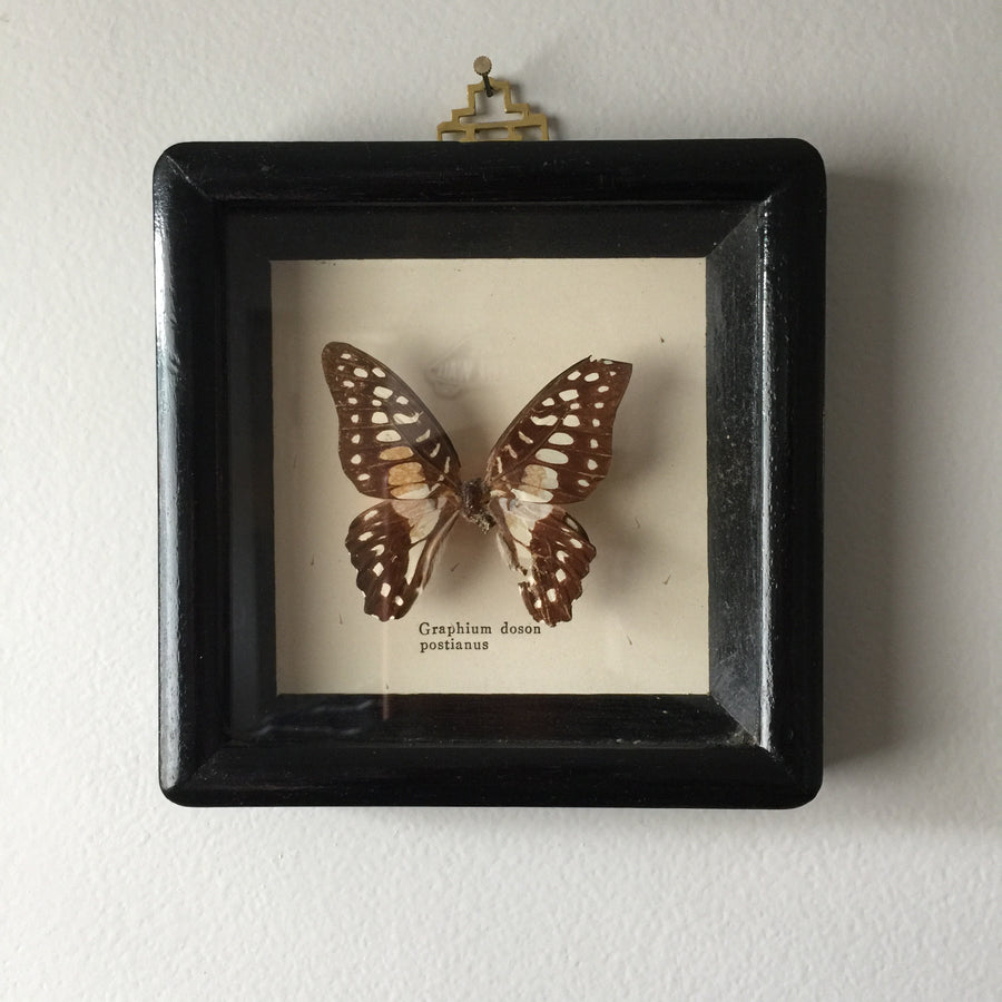 Petite Vintage Butterfly Taxidermy #4