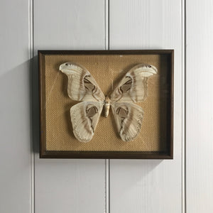 Vintage Atlas Moth Taxidermy