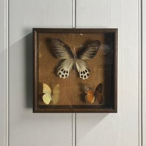 Trio Vintage Butterfly Taxidermy Collection #3
