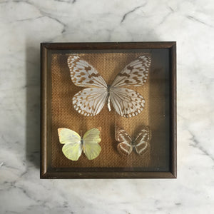 Trio Vintage Butterfly Taxidermy Collection #4