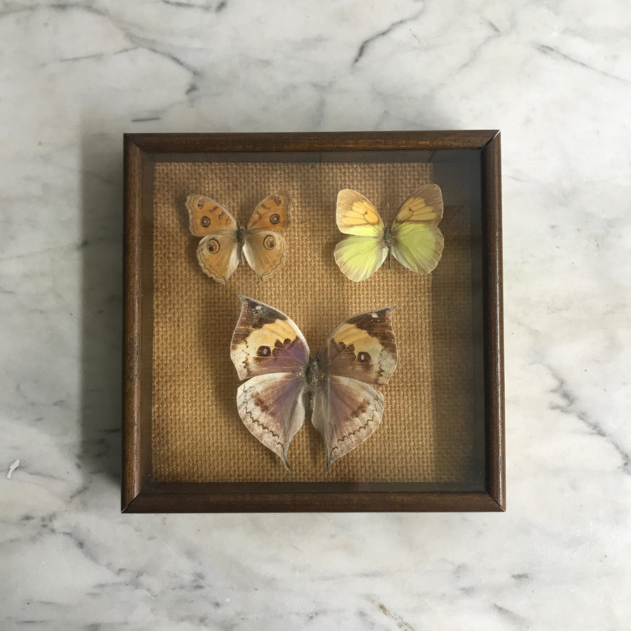 Trio Vintage Butterfly Taxidermy Collection #5