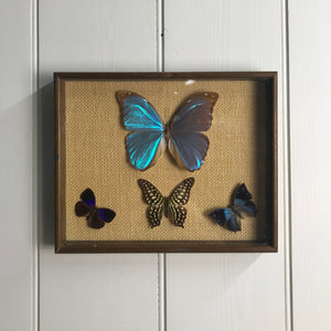 Trio Vintage Butterfly Taxidermy Collection #6