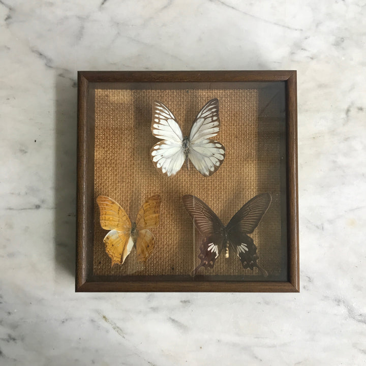 Trio Vintage Butterfly Taxidermy Collection #9
