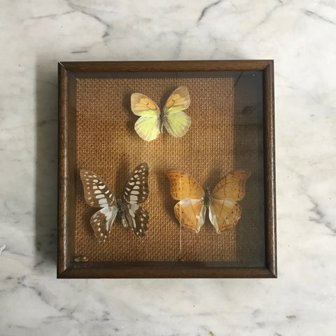 Trio Vintage Butterfly Taxidermy Collection #10