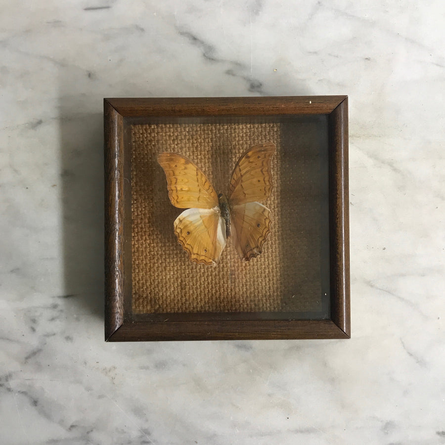Small Vintage Butterfly Taxidermy #11