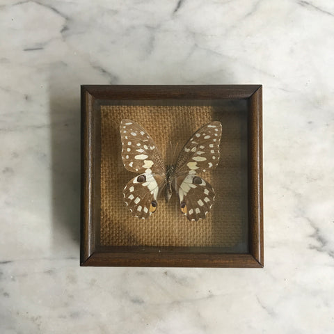 Small Vintage Butterfly Taxidermy #13